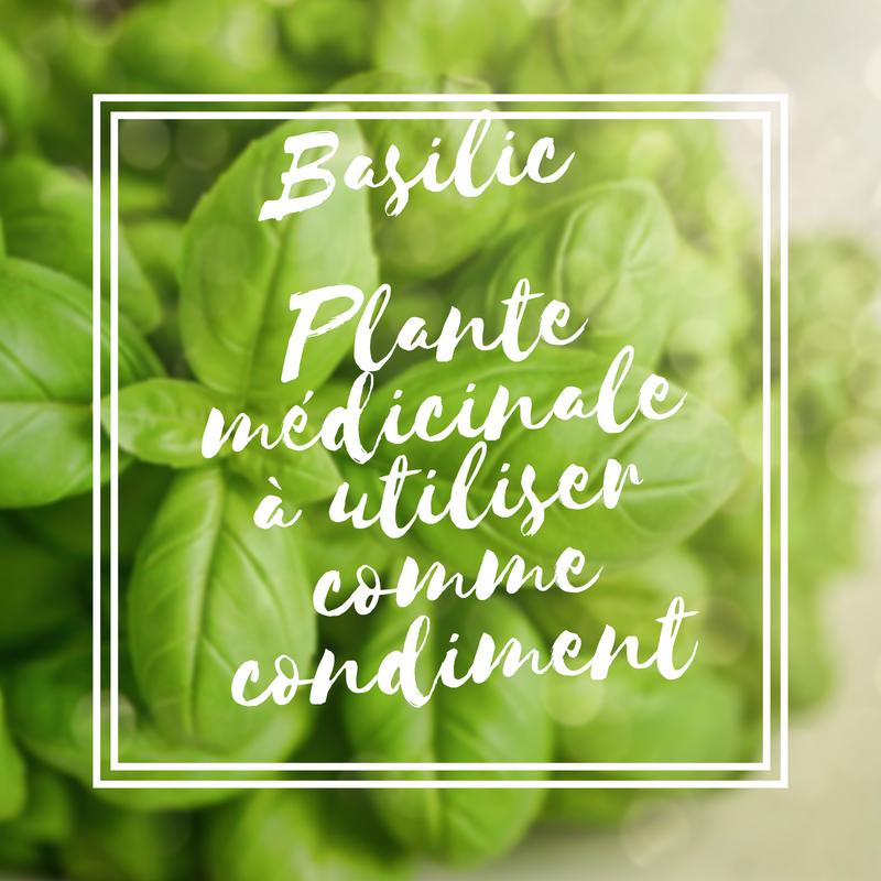 Basilic plante médicinale à utiliser comme condiment