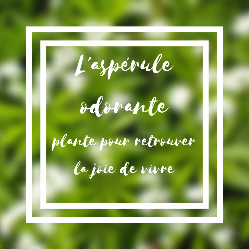 L'aspérule odorante plante de la joie de vivre