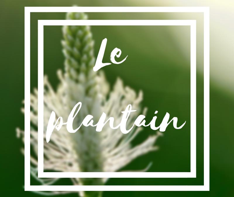 Le plantain, le pansement végétal