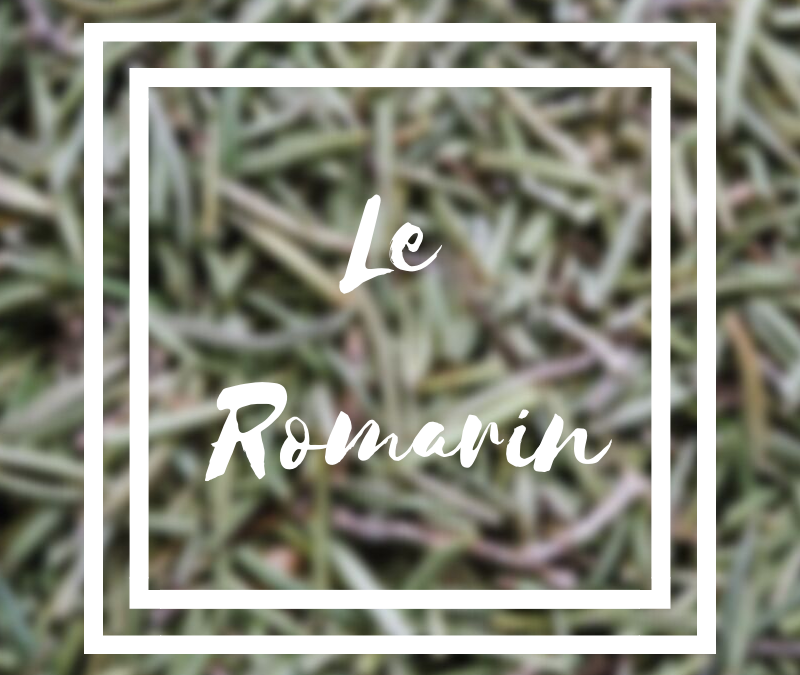 Le romarin cette herbe aromatique
