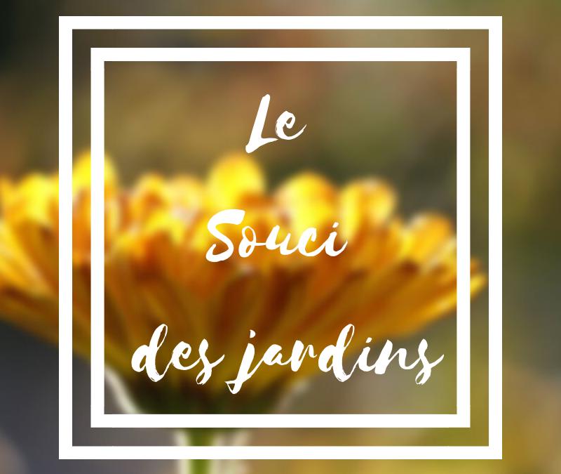 Le souci des jardins ou Calendula officinalis