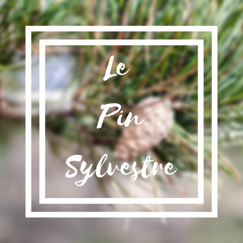 Le pin sylvestre ou pinus sylvestris