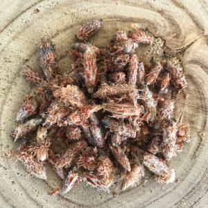 Pin sylvestre bourgeons bio
